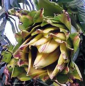 ensete ventricosum (abyssinian banana) (musa ensete)