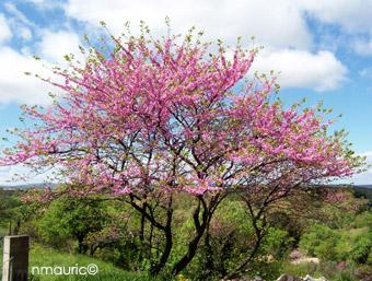 L'arbre de judée dans Incroyable mais vrai ! nmauric_cercis
