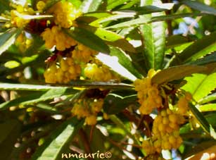 berberis julianae épine vinette