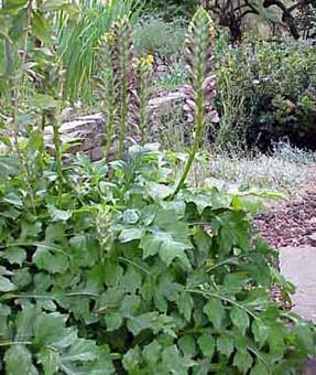 acanthus balcanicus - acanthe des balkans