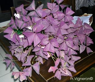 plante interieur oxalis