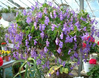 STREPTOCARPUS Streptocarpus_saxorum