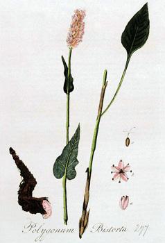Горец змеиный - Polygonum bistorta (змеевик, раковые шейки).