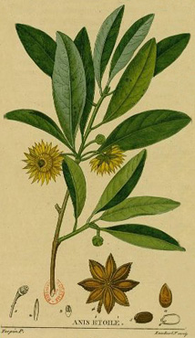 Badianier De Chine Badiane Anis Etoile Illicium Verum