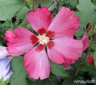 Hibiscus syriacus, Hibiscus \'Oiseau bleu\', Ketmie des jardins