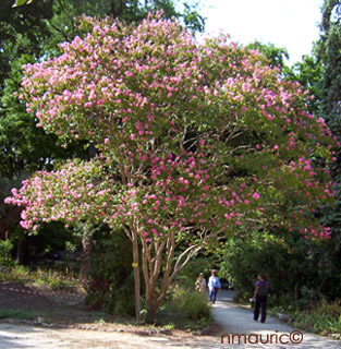 Lagerstroemia indica lilas des indes - Lilas des indes blanc ...