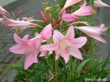 amaryllis x crinum