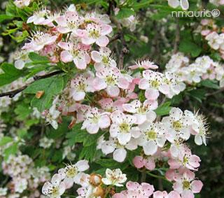 crataegus laevigata, aubépine, Épine à fleurs.