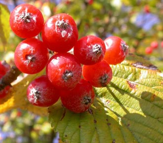 Sorbus aucuparia fruits