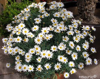 Anthemis fructescens
