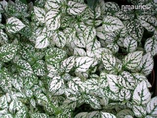 Hypoestes phyllostachya plante aux ph lides for Plante verte vivace