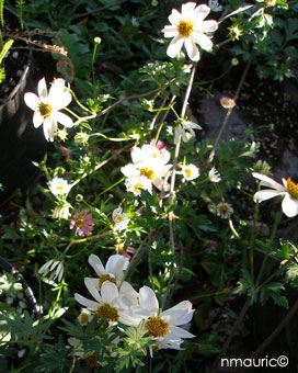 Bidens ferulifolia 'Pirate Pearl'