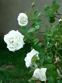 Rosa \u0027Reine des Neiges\u0027 , Rosier \u0027Reine des Neiges\u0027