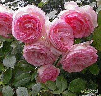 tailler rosier pierre de ronsard