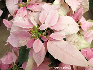 Euphorbia Pulcherrima Poinsettia Etoile De Noel