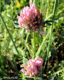 Trifolium Pratens Trefle Rouge Des Pres