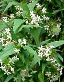 zabelia triflora (indian abelia) (abelia triflora)