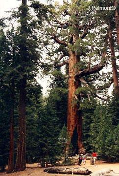 hauteur sequoia géant