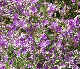 """Résultat de recherche d'images pour """"Limonium latifolium en bouquet"""""""