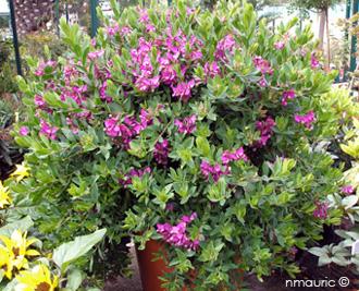 Polygala virgata polygale branchettes - Polygala myrtifolia feuilles jaunes ...