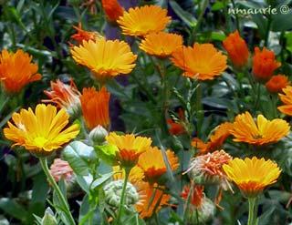 Calendula Officinalis Souci Des Jardins
