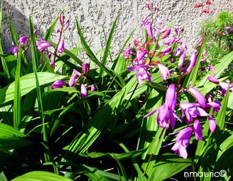Orchidée jacinthe - Bletilla striata