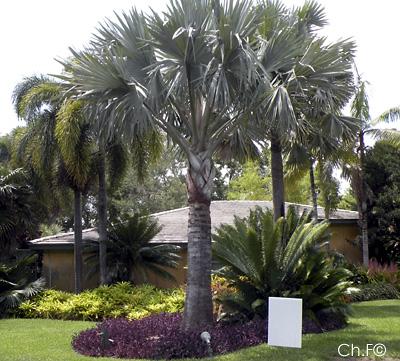 Palmiers et cycas jardin l 39 encyclop die for Jardin l encyclopedie